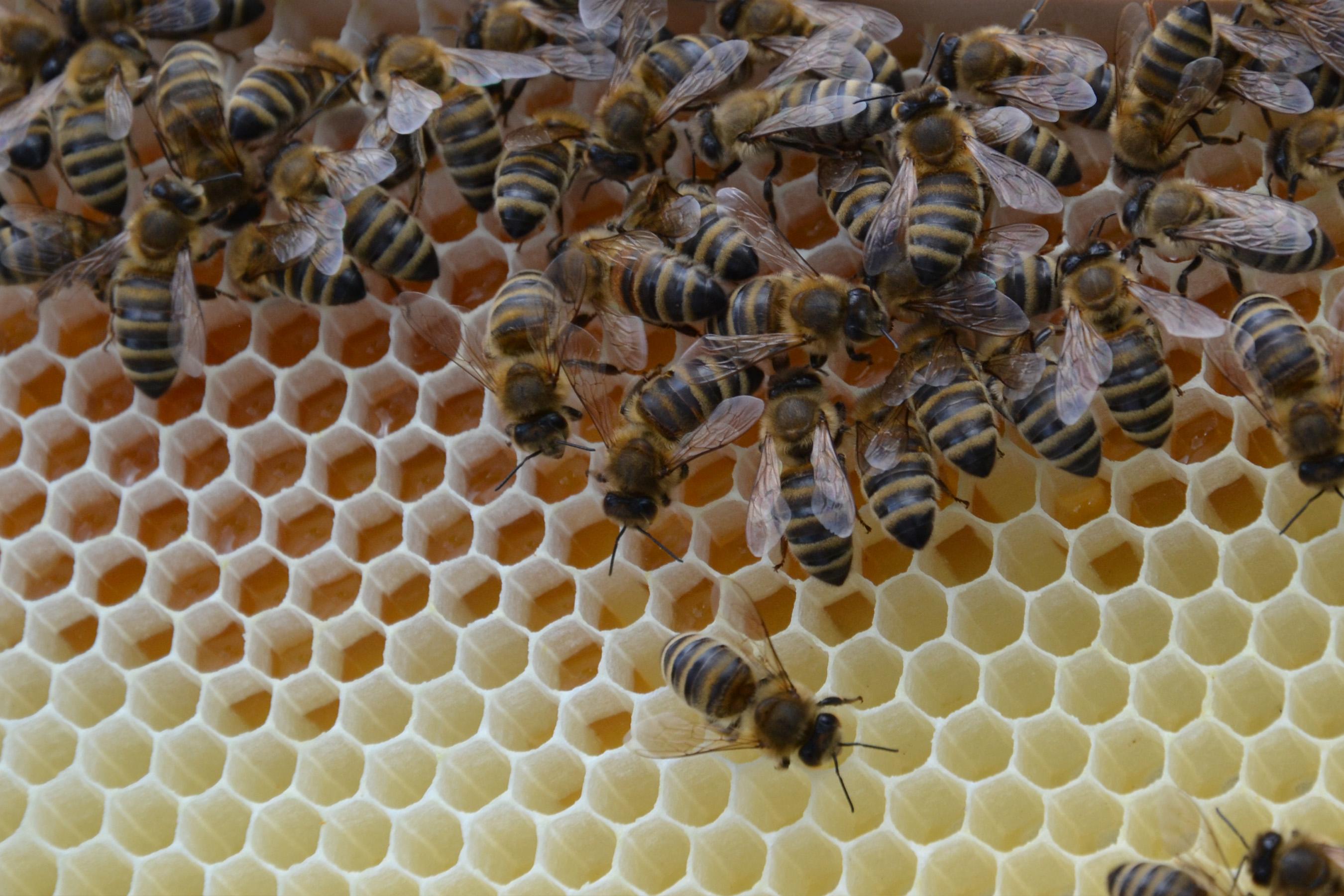 honig.bienen machen bienen.honig